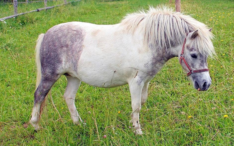 Pferdearten erklärt – Kleinpferde und Ponys